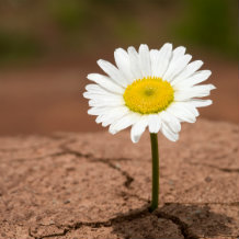 Resilience: Daisy thriving in cracked soil