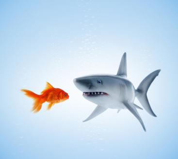 Shark looking menacingly at goldfish