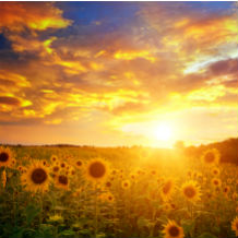 A field of sunflowers with the sun setting in the background