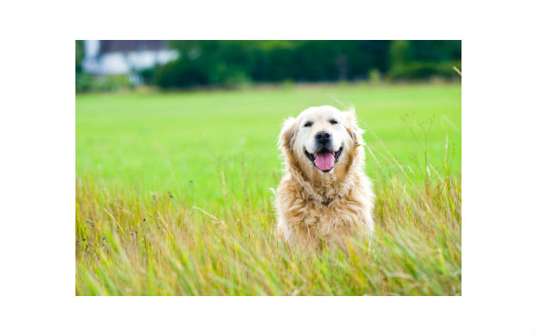 Labrador panting happily in green field