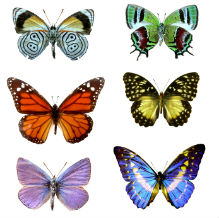 Six different butterflies of varying sizes and colours
