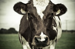 Cow ruminating