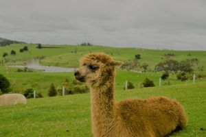 Alpaca lying down in a field with a river backdrop