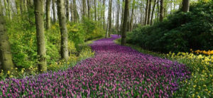 Path of purple bulbs with a daffodil border winding through a wood