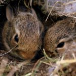 Two brown rabbits in a nest