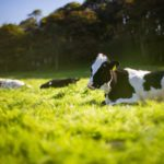 Black and white cows lying in a sunny field with a backdrop of trees.