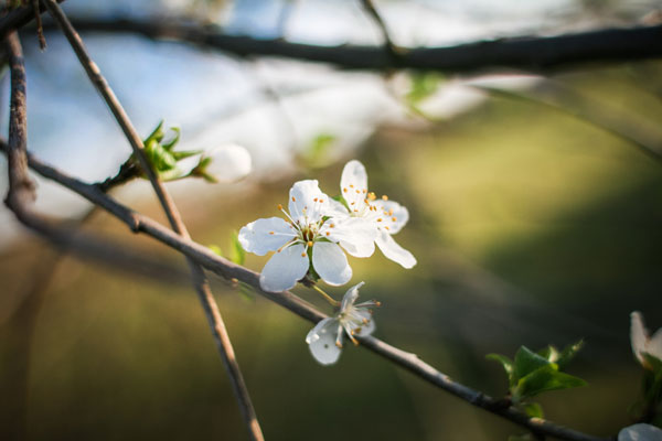 Close up of a tree branch with a small amount of white spring blossom