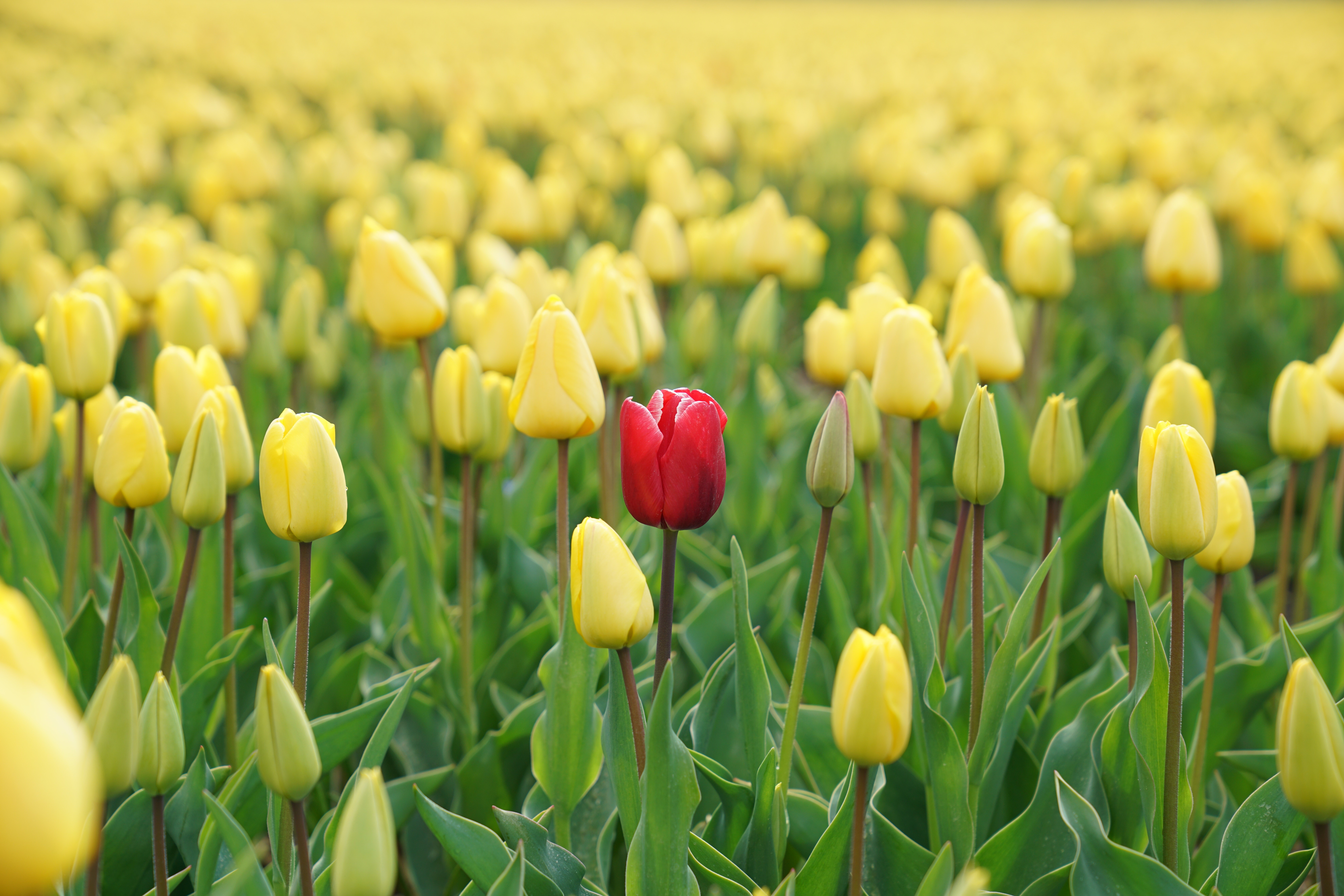 A field of yellow tulips, some open and some still closed, with one red tulip amongst them.