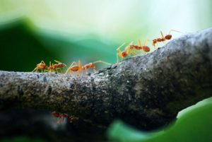 Five orange ants crawling along a wooden bough