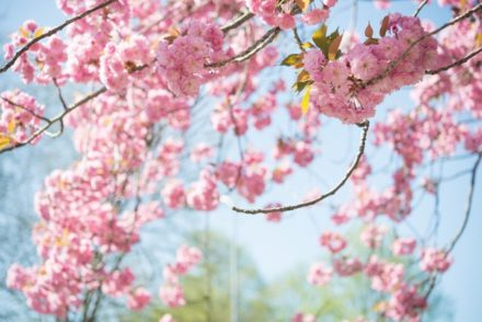 Close up photo of a branch of pink cherry blossom