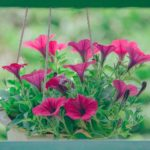 Hanging basket with deep pink flowers