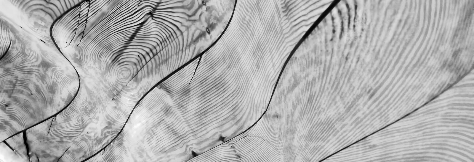 B&W cross section of tree