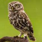 A brown owl on a tree branch looking alert