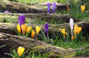 Some yellow, white and purple crocuses peeping through the grass between the roots of a tree