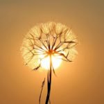 White dandelion flower against a setting sun