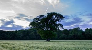 Green leafed tree surrounded by long grass in field with blue sky