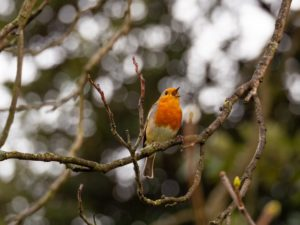 A robin sitting on branch of a tree singing during the daytime