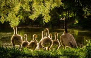 Spring 2021 newsletter intro photo of a goose with seven goslings at the edge of a river overhung by leafy green tree branches