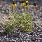 A yellow flowering desert plant surrounded by gravel