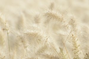 Hazy close up photo of light coloured grasses for Take 10 to settle and calm your mind
