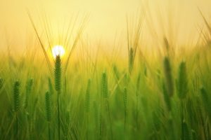 A hazy low sun on the horizon of a field of plants