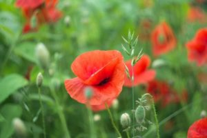 Poppies in bud and in bloom amongst green grasses in a summer garden