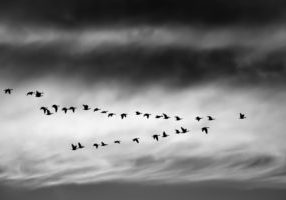 A photo of a group of birds migrating against a dark sky