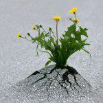 Resilience - Flowers growing through tarmac